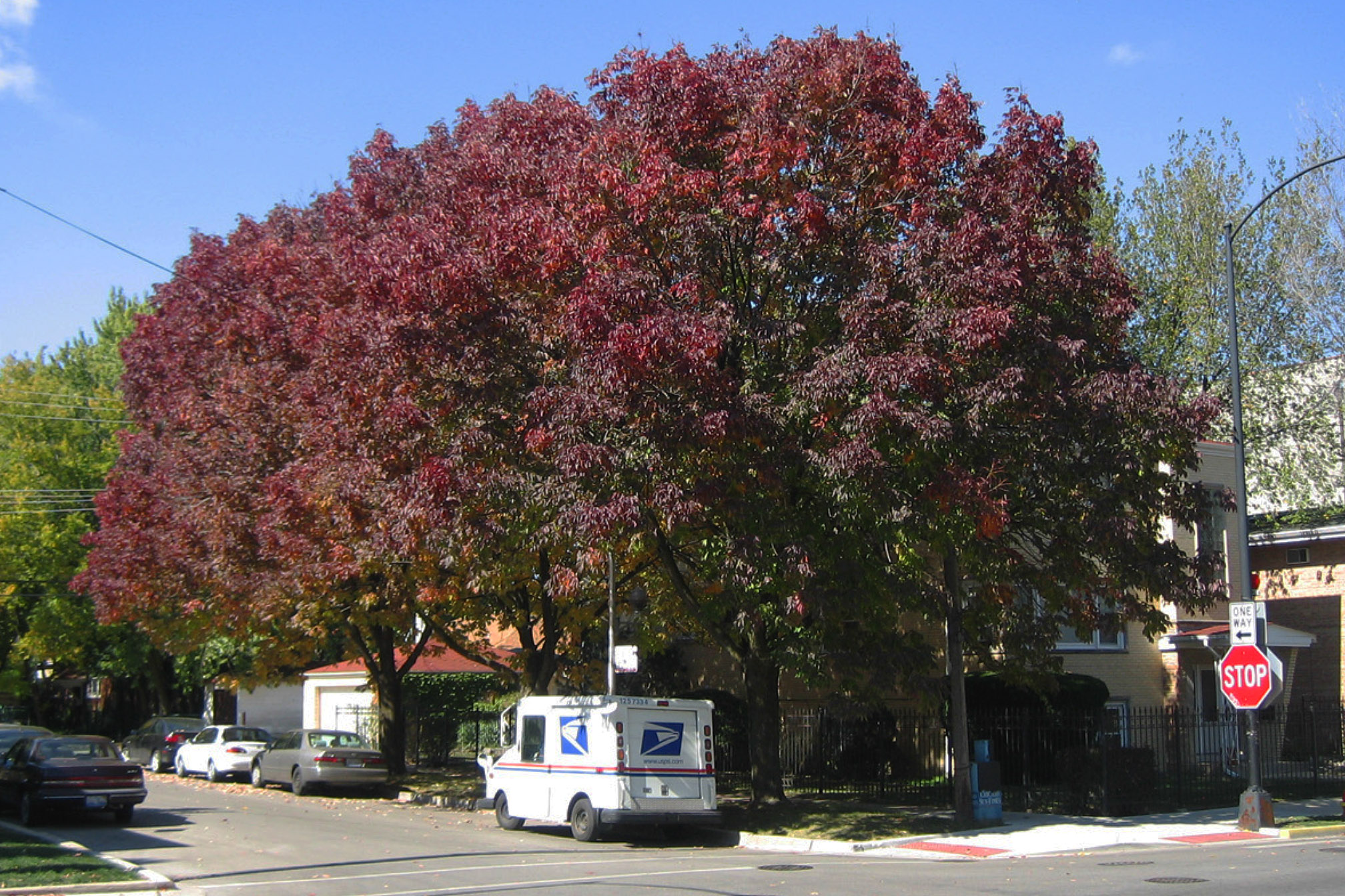 Mature Ash trees are a vital contributor to Chicago's urban forest