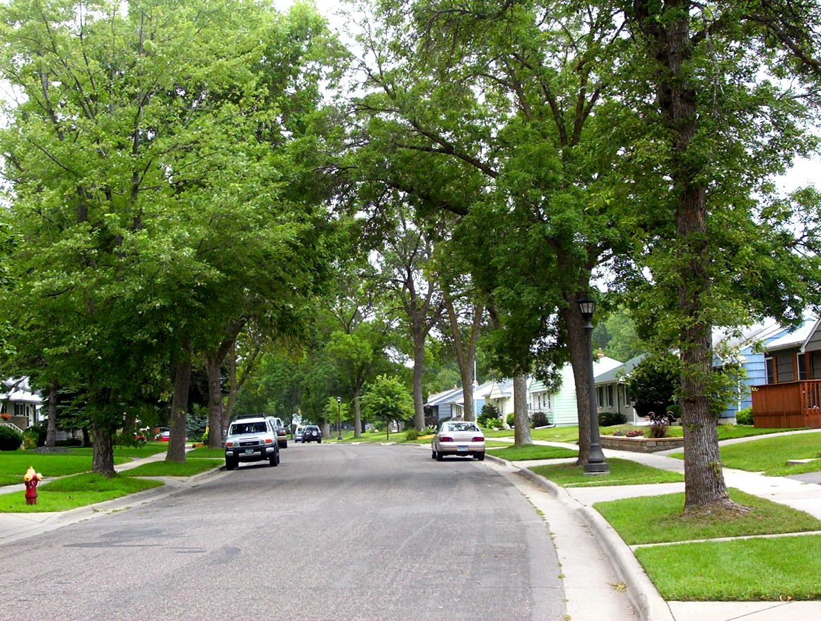 Neighborhood Tree Canopy prior to removal due to EAB
