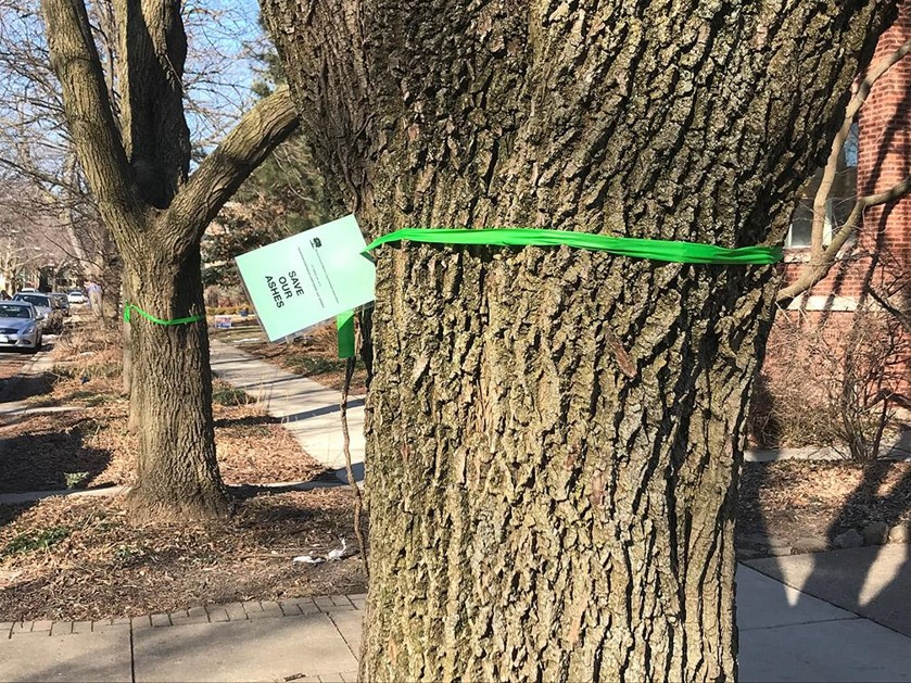 Ash trees marked for preservation in Ravenswood Manor